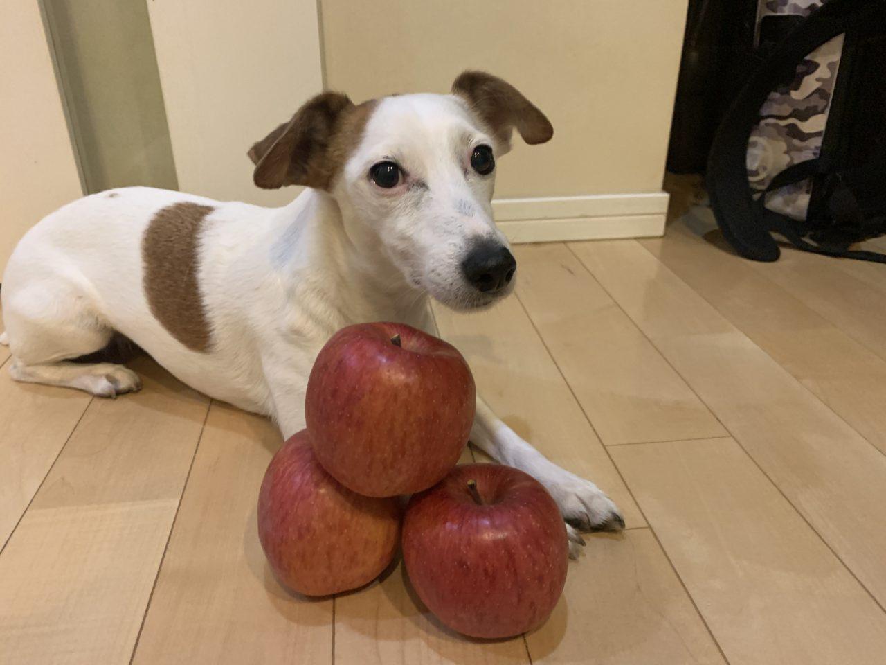 頂き物のリンゴとジャックラッセルテリアのタリーさん
