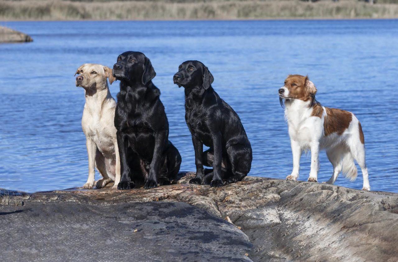 スウェーデンの犬たち